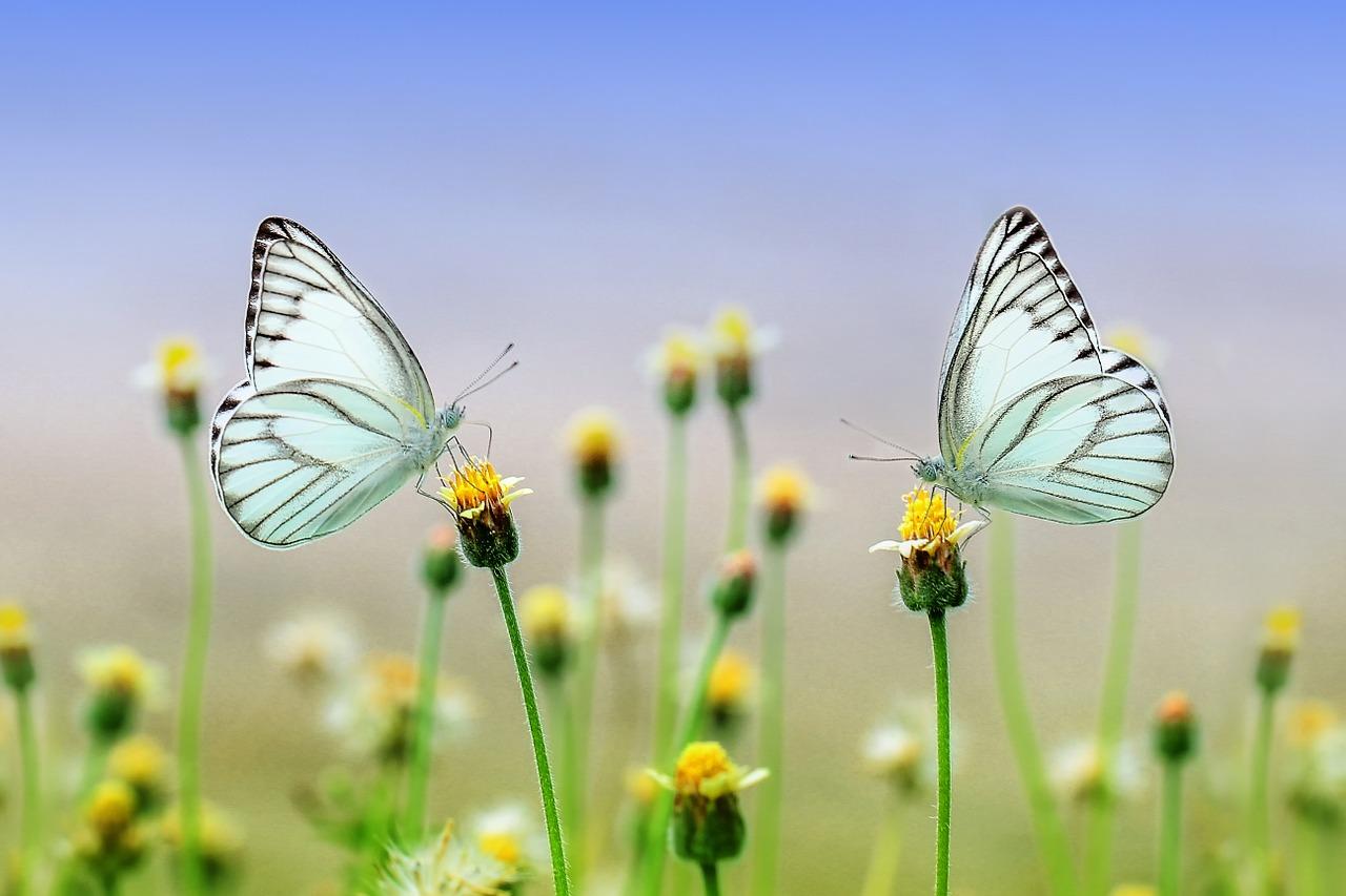 Schmetterlinge auf Wiese